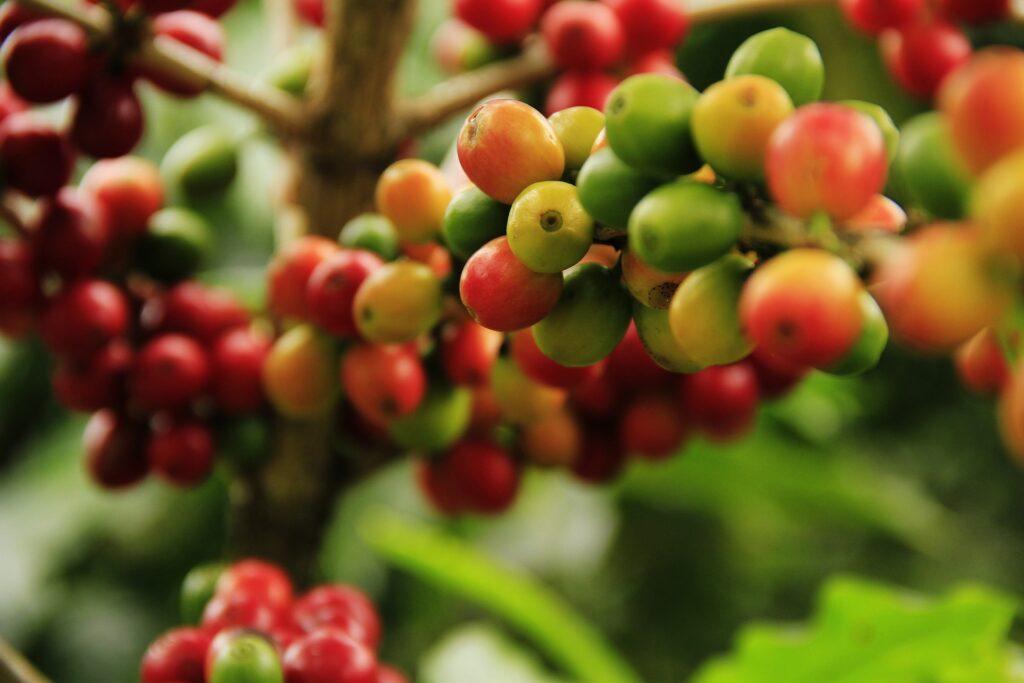 阿拉比卡/羅布斯塔/賴比瑞亞咖啡豆