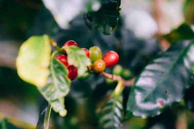 藝伎/藝妓咖啡種植